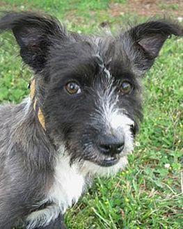 Cairn Terrier/Scottie, Scottish Terrier Mix Dog for adoption in Huntsville, Alabama - Otis