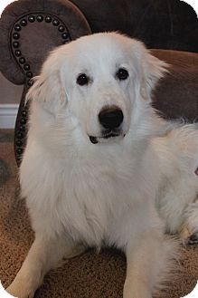 Great Pyrenees Dog for adoption in Wichita, Kansas - Pooh Bear