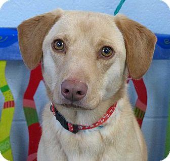 Labrador Retriever/Basset Hound Mix Dog for adoption in Fayetteville, North Carolina - Lightning