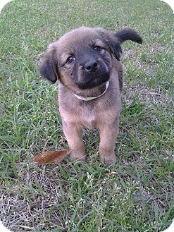 Golden Retriever/German Shepherd Dog Mix Puppy for adoption in Middletown, Rhode Island - Orchid