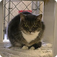 Domestic Shorthair Cat for adoption in East Smithfield, Pennsylvania - Amber