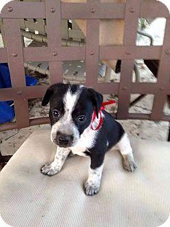 Australian Cattle Dog/Border Collie Mix Puppy for adoption in Fountain Valley, California - Geneva