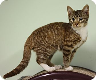 Domestic Shorthair Kitten for adoption in Murphysboro, Illinois - Canela