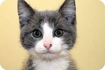 Domestic Shorthair Kitten for adoption in Kalamazoo, Michigan - Iorek