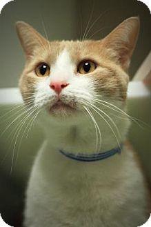 Domestic Shorthair Cat for adoption in Parma, Ohio - Lexus