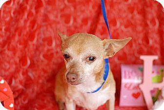 Chihuahua Mix Dog for adoption in San Antonio, Texas - Felix