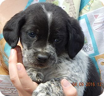 Dachshund/Terrier (Unknown Type, Small) Mix Puppy for adoption in SUSSEX, New Jersey - Amos (4 lb)