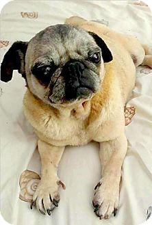 Pug Dog for adoption in Mount Pleasant, South Carolina - Ella