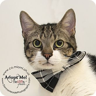Domestic Shorthair Cat for adoption in Troy, Ohio - Shashay