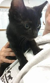 Domestic Shorthair Kitten for adoption in South Haven, Michigan - Bagheera