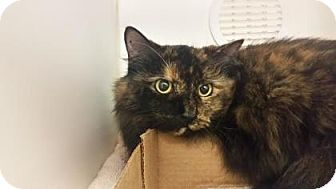 Domestic Longhair Cat for adoption in Reisterstown, Maryland - Goldie