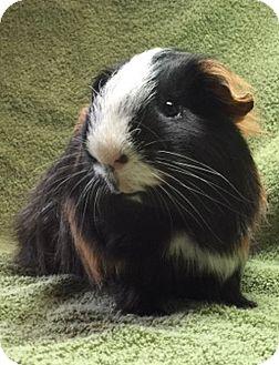 Guinea Pig for adoption in Highland, Indiana - Simon