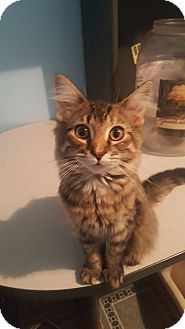 Domestic Mediumhair Kitten for adoption in Livonia, Michigan - Heather