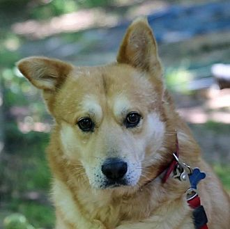 Husky/Chow Chow Mix Dog for adoption in Roswell, Georgia - Rock