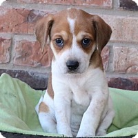 Adopt A Pet :: Torino - Austin, TX