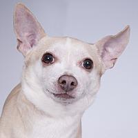 Adopt A Pet :: Burrito - Chicago, IL