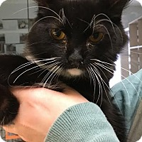 Domestic Mediumhair Cat for adoption in Westminster, California - Amelia