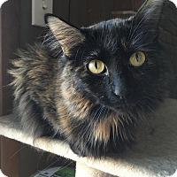 Adopt A Pet :: Caroline - St. Louis, MO
