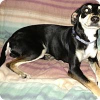 Adopt A Pet :: Heidi Sue - Crowley, LA