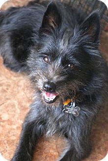 Schnauzer (Miniature) Mix Dog for adoption in Woonsocket, Rhode Island - Sprinkles