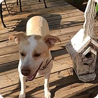 Labrador Retriever Mix Dog for adoption in Denver, Colorado - Gracie