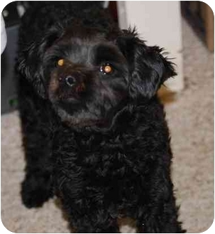 Poodle (Miniature) Puppy for adoption in Gallatin, Tennessee - Bungie Bear-Pending