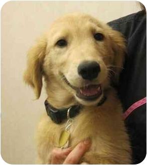 Golden Retriever Puppy for adoption in Cleveland, Ohio - Primo