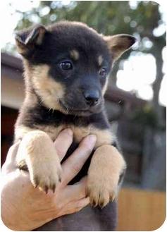 Shepherd (Unknown Type) Mix Puppy for adoption in Broomfield, Colorado - Waltz