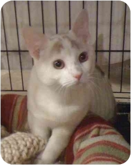 Domestic Shorthair Cat for adoption in Worcester, Massachusetts - Beau