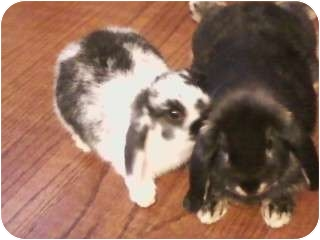 Lop, Holland Mix for adoption in Plattsburgh, New York - Cookie