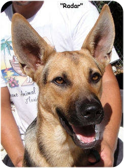 German Shepherd Dog Mix Dog for adoption in Key Largo, Florida - Radar