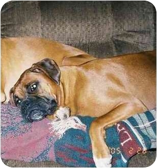 Boxer Dog for adoption in Waterford, Michigan - Gracie Ann