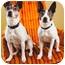 Photo 1 - Rat Terrier/Boston Terrier Mix Dog for adoption in Portland, Oregon - Macie & Dot