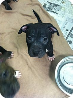 American Staffordshire Terrier/American Pit Bull Terrier Mix Puppy for adoption in Kendalia, Texas - Zorro