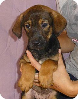 German Shepherd Dog Mix Puppy for adoption in Oviedo, Florida - Lilly