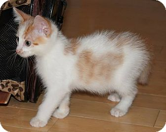 Domestic Mediumhair Kitten for adoption in St. Louis, Missouri - Schnickelfritz