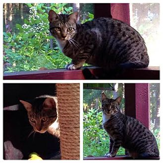 Domestic Shorthair Cat for adoption in Gainesville, Florida - Giselle Warrington