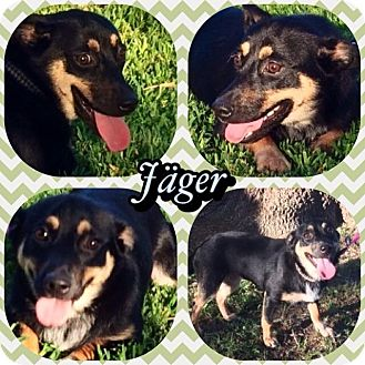 Dachshund Mix Dog for adoption in Houston, Texas - Jager