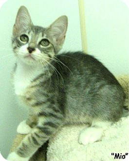 Domestic Shorthair Kitten for adoption in Key Largo, Florida - Mia