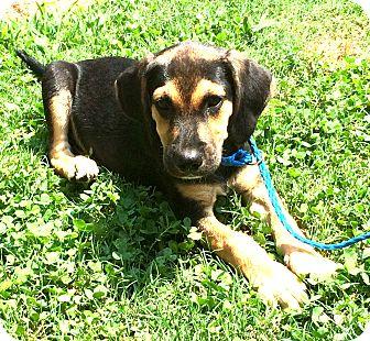 Beagle/Hound (Unknown Type) Mix Puppy for adoption in Germantown, Tennessee - Dooney