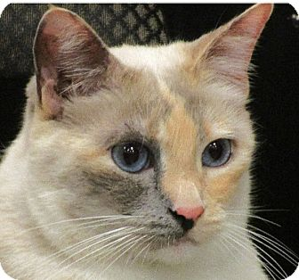 Domestic Shorthair Cat for adoption in San Leandro, California - Lavender