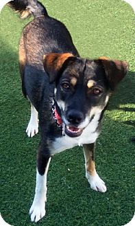 Cattle Dog/Labrador Retriever Mix Dog for adoption in Newport Beach, California - Sani: Enthusiastic Forever Friend