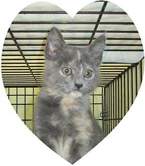 Domestic Shorthair Kitten for adoption in Pueblo West, Colorado - Melody