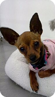 Chihuahua Dog for adoption in Fort Worth, Texas - PENNY