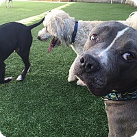 Adopt A Pet :: Blue Diamond - Encino, CA