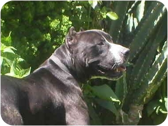 Pit Bull Terrier Mix Dog for adoption in Poway, California - Coby