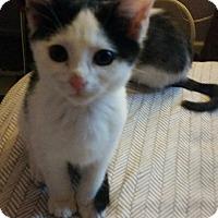 Adopt A Pet :: Meatball - Newfield, NJ