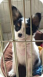 Papillon Puppy for adoption in Mary Esther, Florida - Papillon Pup