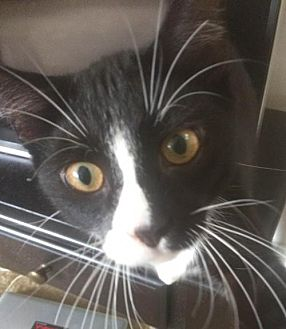 Domestic Mediumhair Kitten for adoption in Pompano beach, Florida - Nibbles
