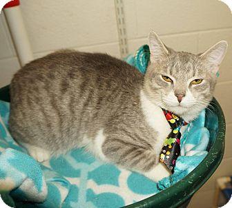 Domestic Shorthair Cat for adoption in Lexington, North Carolina - Charlie